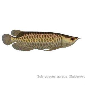 Scleropages aureus(GoldenArowana)