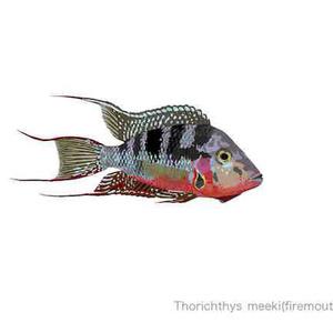Thorichthys meeki(firemouth cichlid)