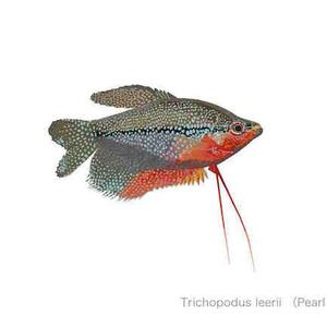 Trichopodus leerii (Pearl Gourami)