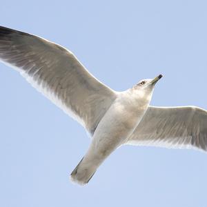 鳥のポーズ・素材集 ウミネコ編
