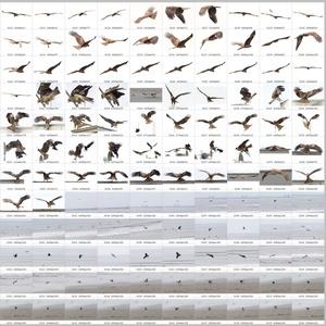 鳥のポーズ・素材集 トビ編
