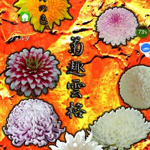 菊の待ち受け画像