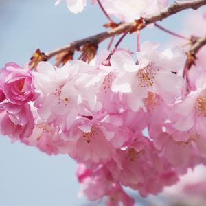 【BGM】sakura